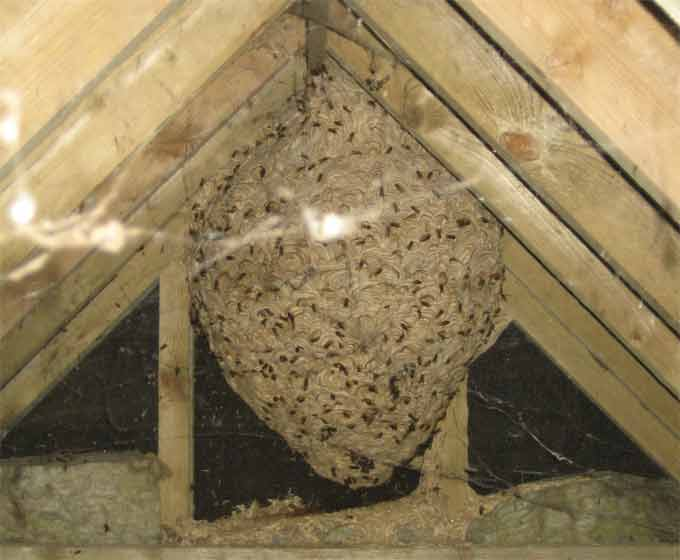 Wasp nest in loft - Maghull Wasp Control - Wasp Removal £45.00, covering Liverpool, Merseyside and Cheshire